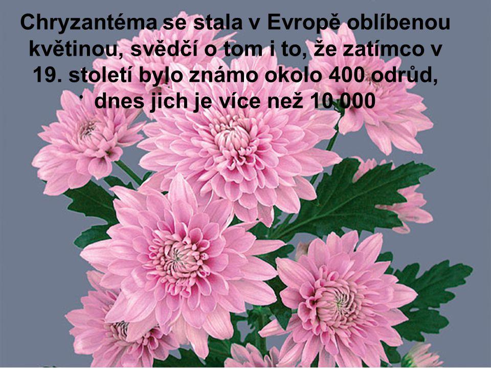Chryzantéma se stala v Evropě oblíbenou květinou, svědčí o tom i to, že zatímco v 19.