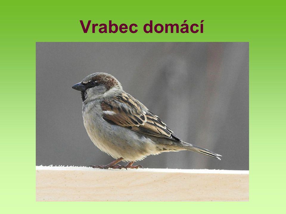 Vrabec domácí