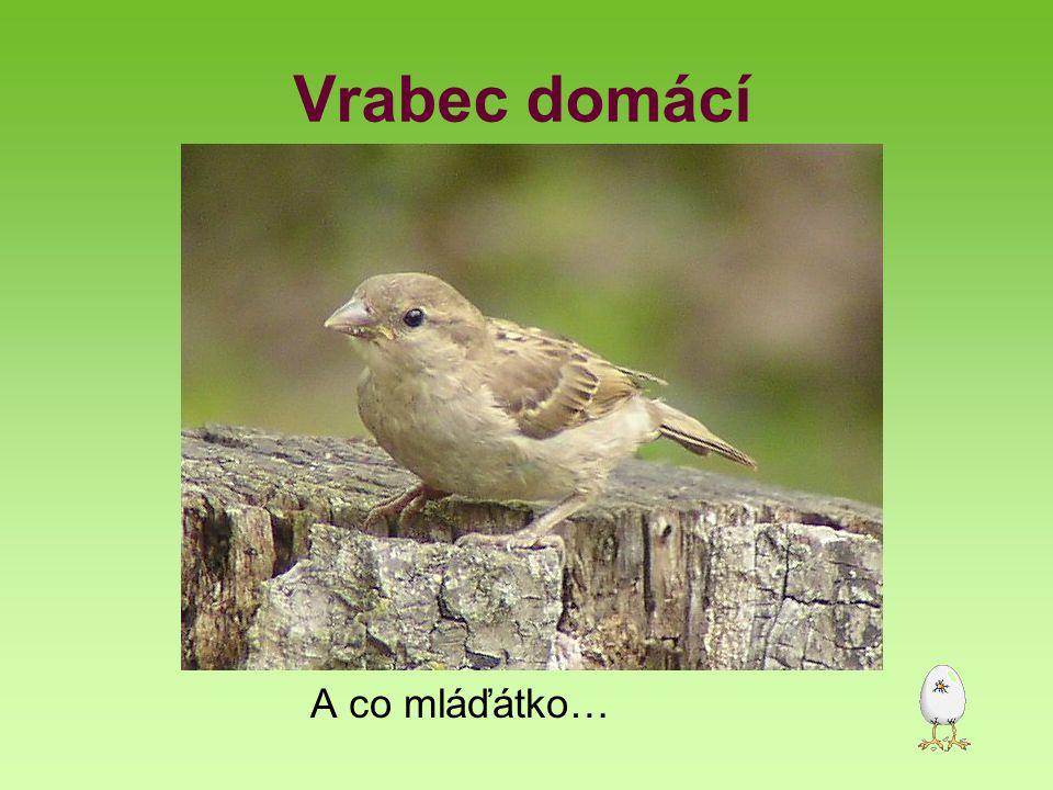 Vrabec domácí Velikost délka 14-15,5 cm, rozpětí křídel 20-22 cm, hmotnost 20-27 g Prostředí vesnice, města Početnost 4,2 mil.