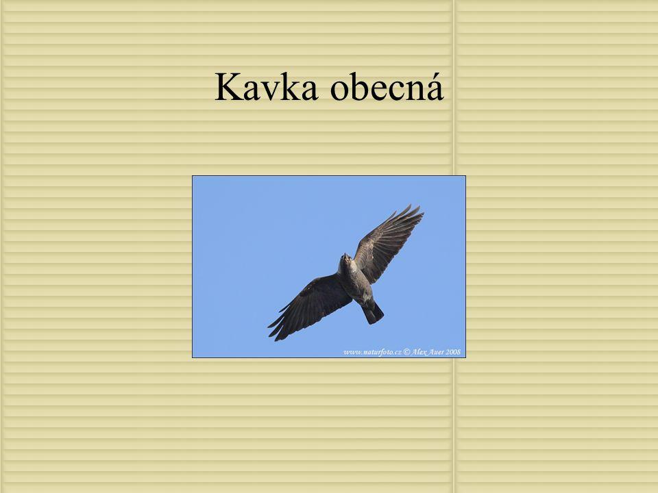 Sojka obecná Délka těla 32-35cm Rozpětí křídel 52-58cm Hmotnost 150-180g Je oranžovohnědá s černým zobákem a ocasem Nejbarvitější Evropský zástupce své čeledi Potravu si vyhledává jak na Zemi tak na stromech,především se živí rostlinou výrobou