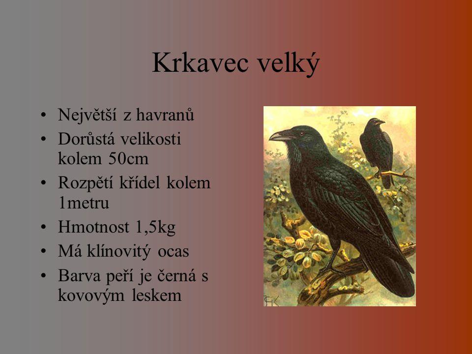 Druhy Krkavec velký Vrána obecná Havran polní Straka obecná Ořešník kropenatý Sojka obecná Kavka obecná