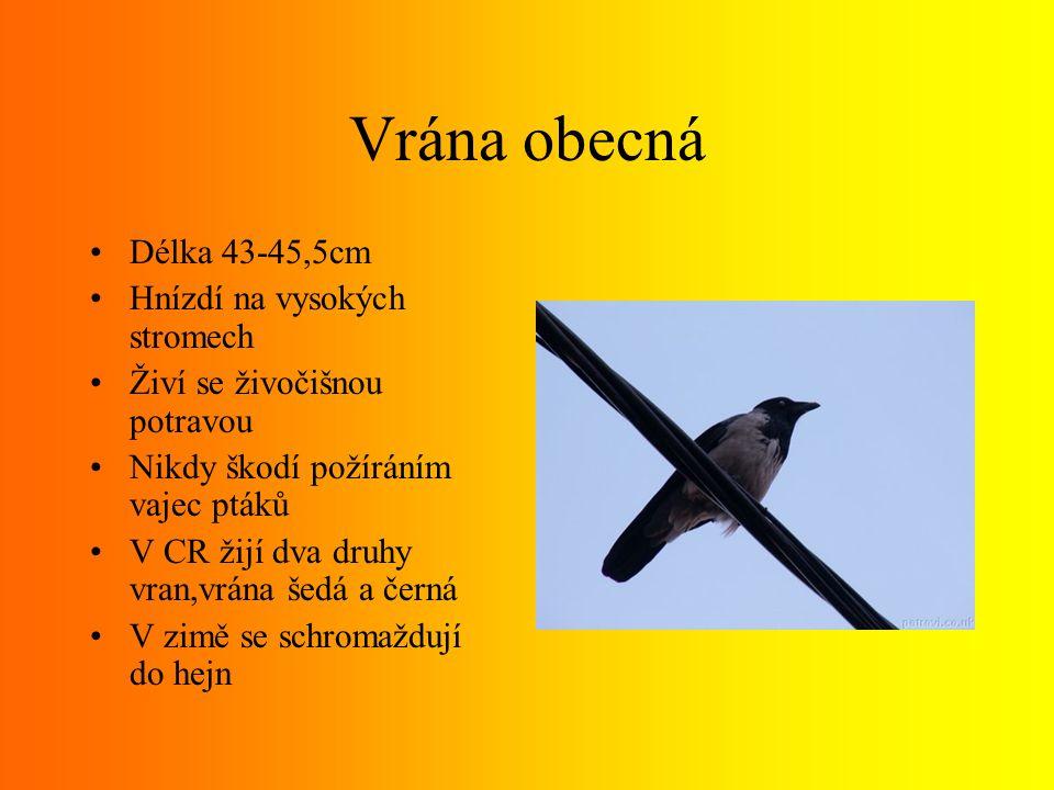 Krkavec velký Největší z havranů Dorůstá velikosti kolem 50cm Rozpětí křídel kolem 1metru Hmotnost 1,5kg Má klínovitý ocas Barva peří je černá s kovovým leskem
