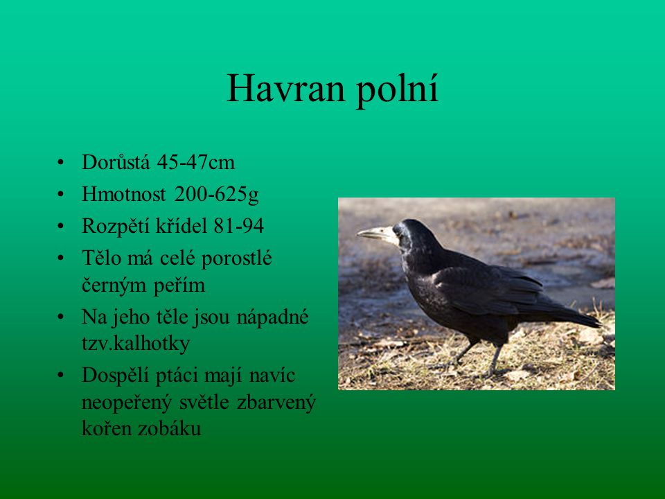 Havran polní Dorůstá 45-47cm Hmotnost 200-625g Rozpětí křídel 81-94 Tělo má celé porostlé černým peřím Na jeho těle jsou nápadné tzv.kalhotky Dospělí ptáci mají navíc neopeřený světle zbarvený kořen zobáku