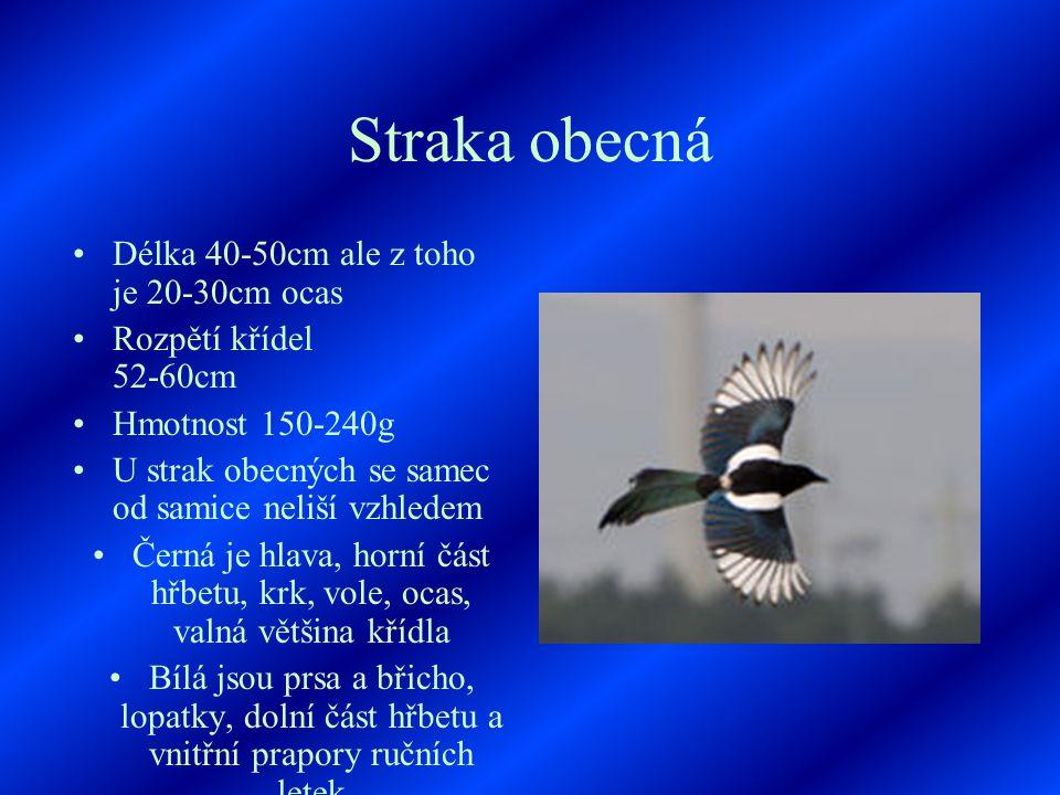 Straka obecná Délka 40-50cm ale z toho je 20-30cm ocas Rozpětí křídel 52-60cm Hmotnost 150-240g U strak obecných se samec od samice neliší vzhledem Černá je hlava, horní část hřbetu, krk, vole, ocas, valná většina křídla Bílá jsou prsa a břicho, lopatky, dolní část hřbetu a vnitřní prapory ručních letek