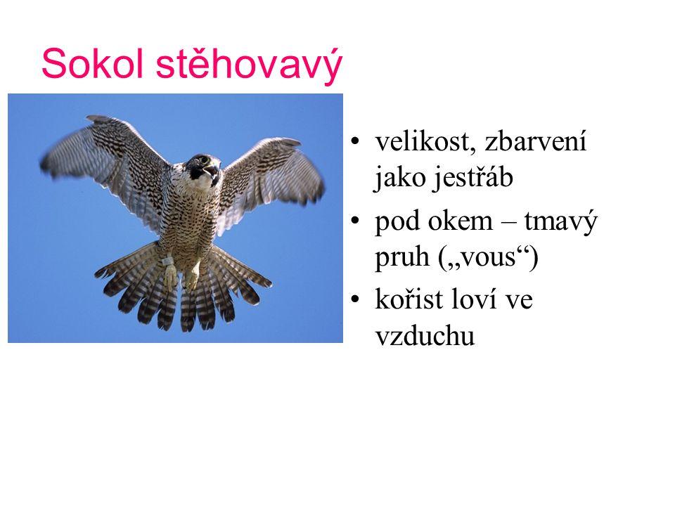 Orel skalní v přírodě vzácný Slovensko