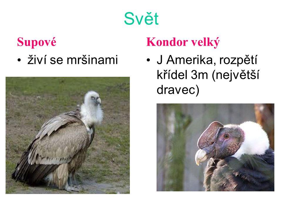 Svět Supové živí se mršinami Kondor velký J Amerika, rozpětí křídel 3m (největší dravec)