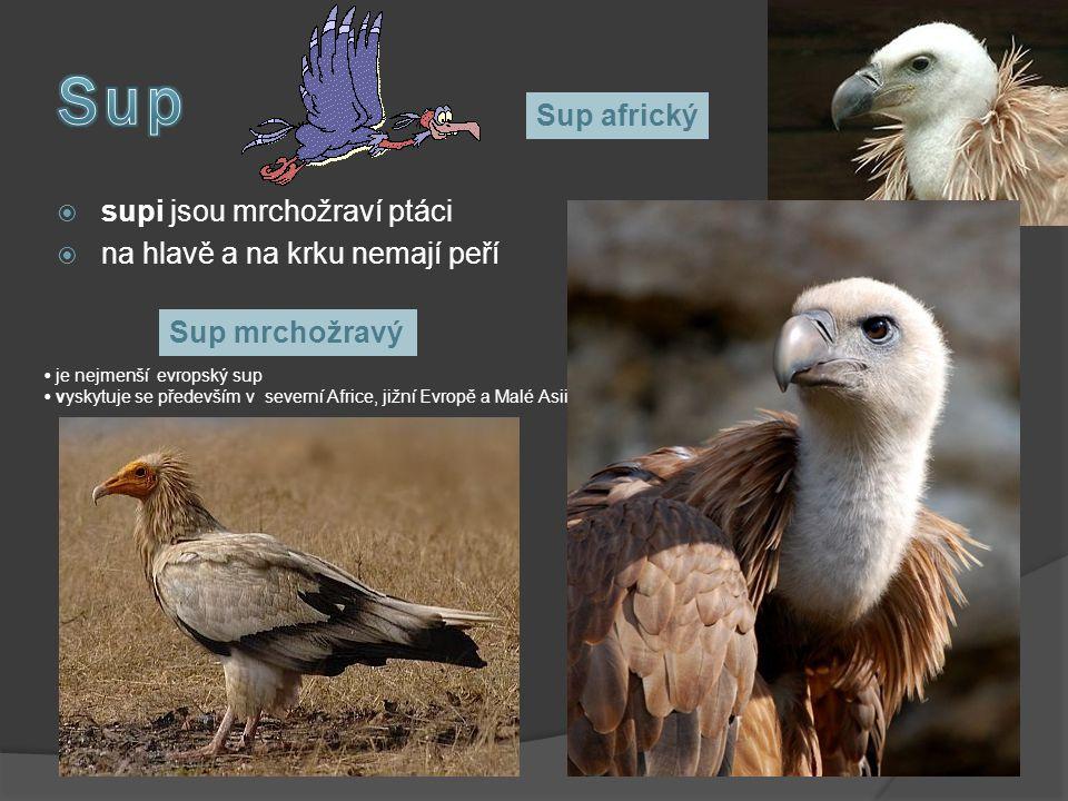  supi jsou mrchožraví ptáci  na hlavě a na krku nemají peří Sup mrchožravý je nejmenší evropský sup vyskytuje se především v severní Africe, jižní E