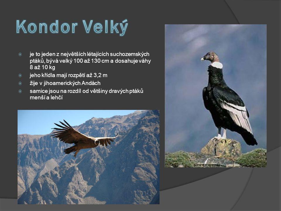  je to jeden z největších létajících suchozemských ptáků, bývá velký 100 až 130 cm a dosahuje váhy 8 až 10 kg  jeho křídla mají rozpětí až 3,2 m  ž