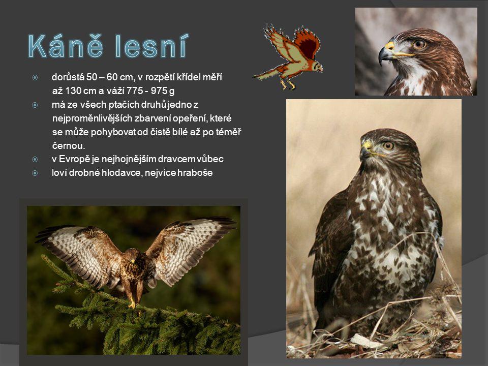  dorůstá 50 – 60 cm, v rozpětí křídel měří až 130 cm a váží 775 - 975 g  má ze všech ptačích druhů jedno z nejproměnlivějších zbarvení opeření, kter