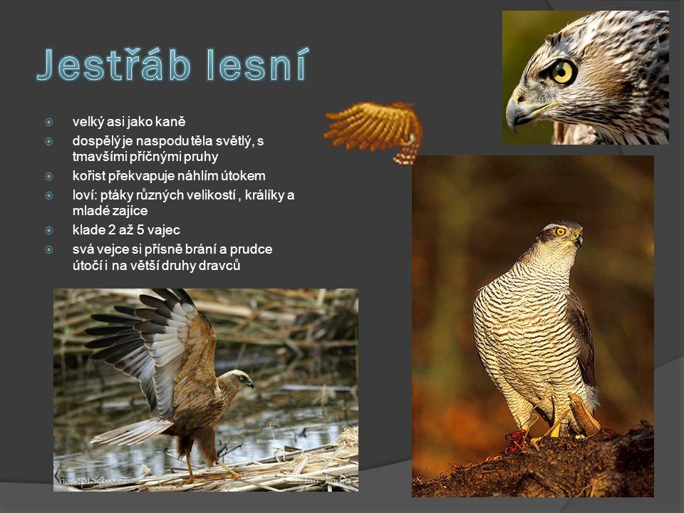  velký asi jako kaně  dospělý je naspodu těla světlý, s tmavšími příčnými pruhy  kořist překvapuje náhlím útokem  loví: ptáky různých velikostí, k