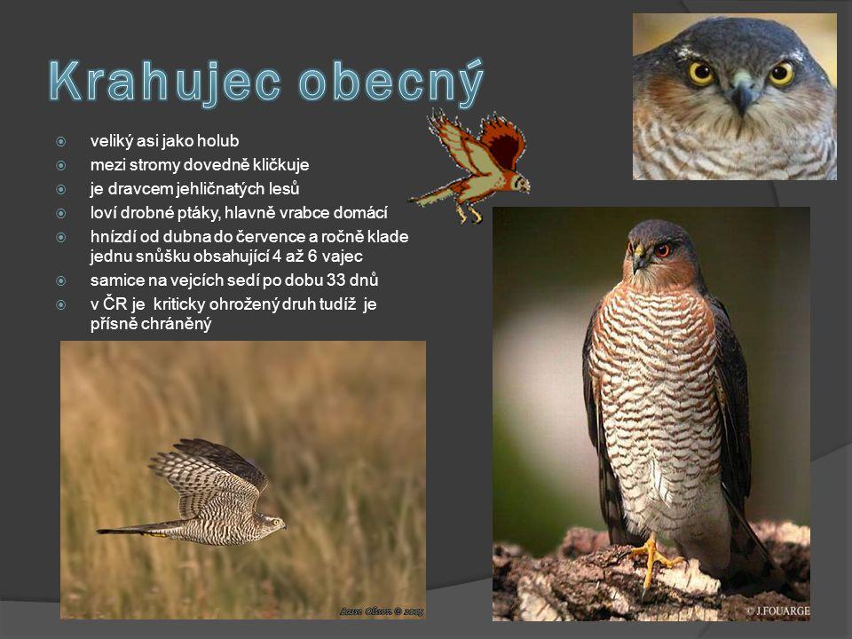  veliký asi jako holub  mezi stromy dovedně kličkuje  je dravcem jehličnatých lesů  loví drobné ptáky, hlavně vrabce domácí  hnízdí od dubna do č