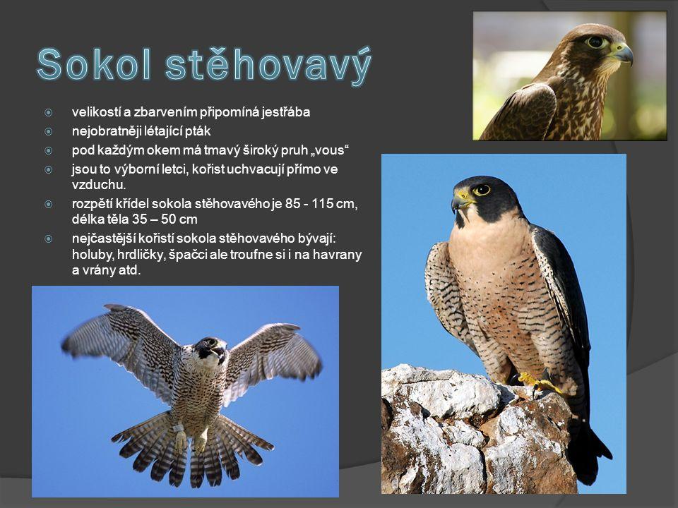 """ velikostí a zbarvením připomíná jestřába  nejobratněji létající pták  pod každým okem má tmavý široký pruh """"vous""""  jsou to výborní letci, kořist"""