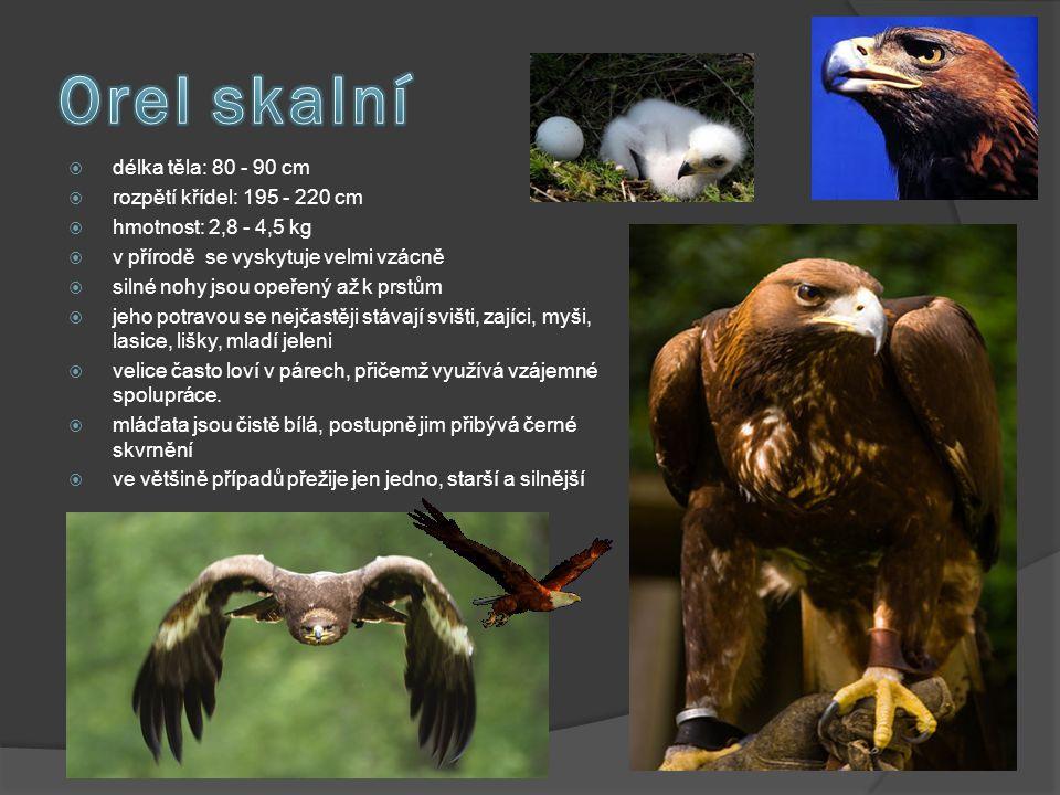  délka těla: 80 - 90 cm  rozpětí křídel: 195 - 220 cm  hmotnost: 2,8 - 4,5 kg  v přírodě se vyskytuje velmi vzácně  silné nohy jsou opeřený až k