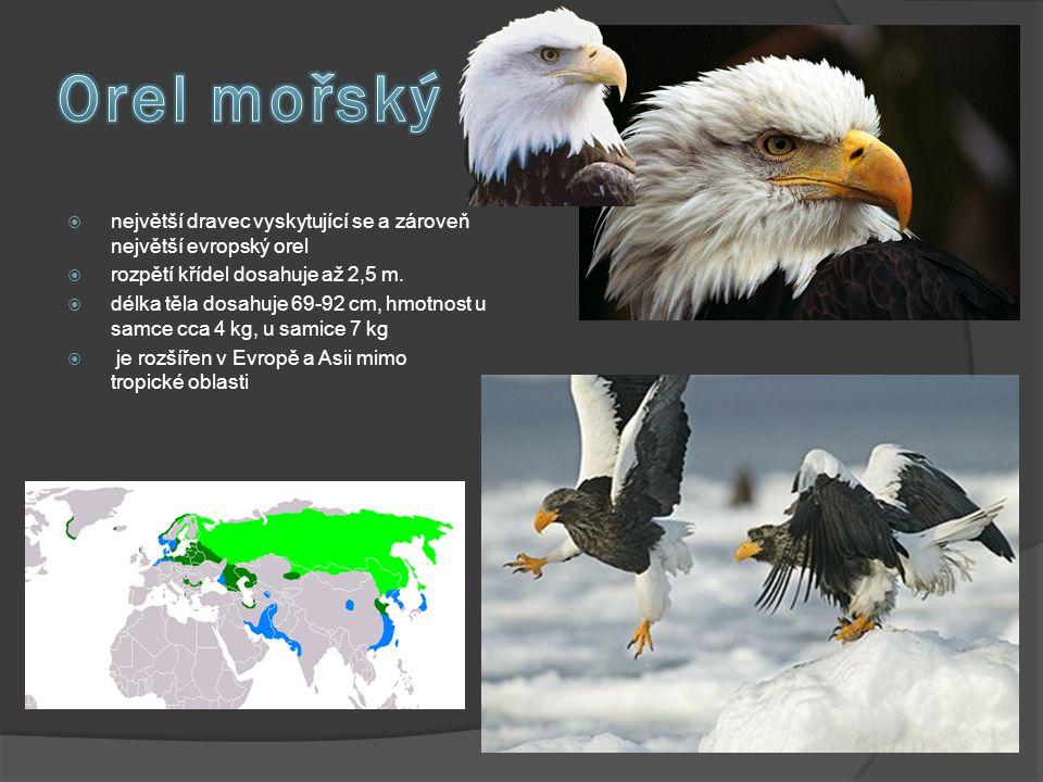  největší dravec vyskytující se a zároveň největší evropský orel  rozpětí křídel dosahuje až 2,5 m.  délka těla dosahuje 69-92 cm, hmotnost u samce