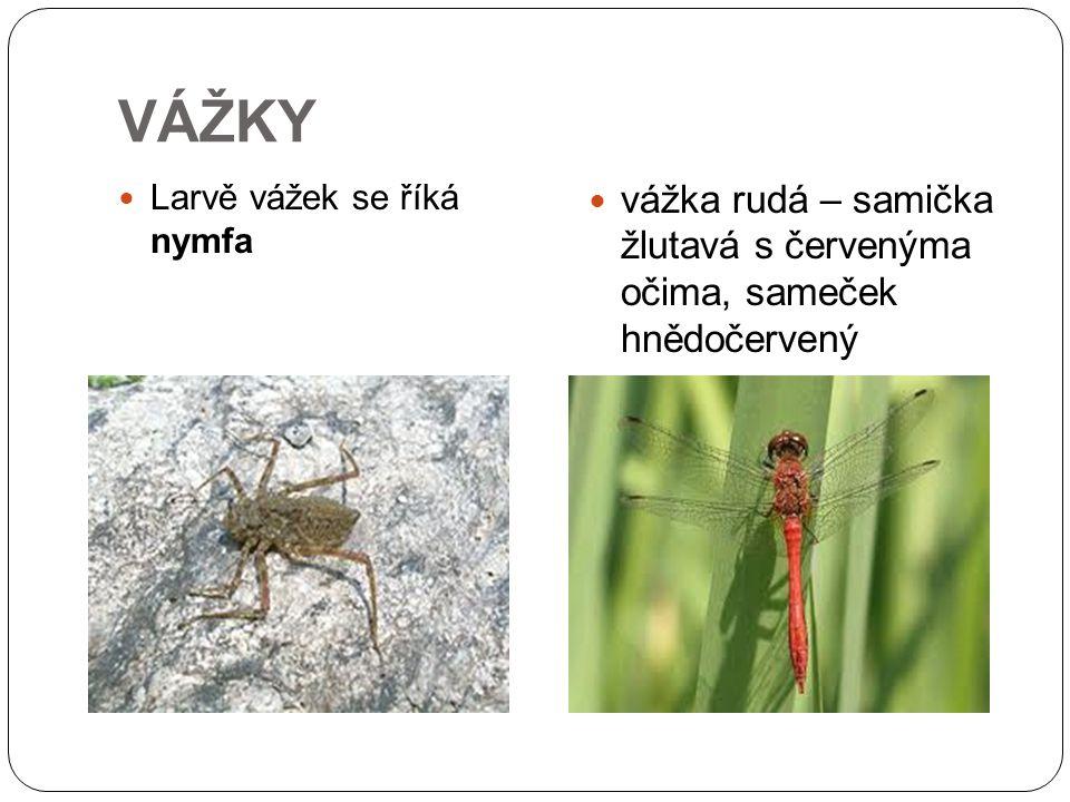 VÁŽKY Larvě vážek se říká nymfa vážka rudá – samička žlutavá s červenýma očima, sameček hnědočervený
