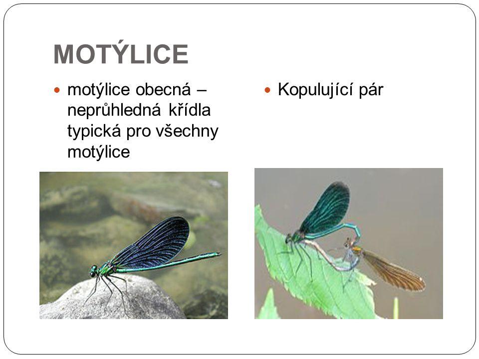 MOTÝLICE motýlice obecná – neprůhledná křídla typická pro všechny motýlice Kopulující pár