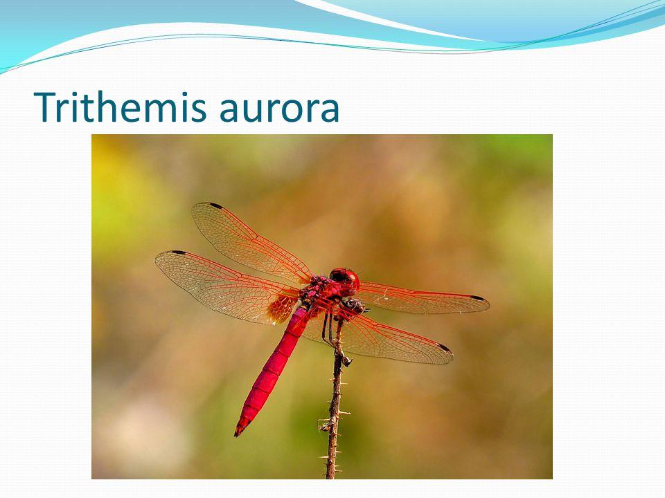 Trithemis aurora