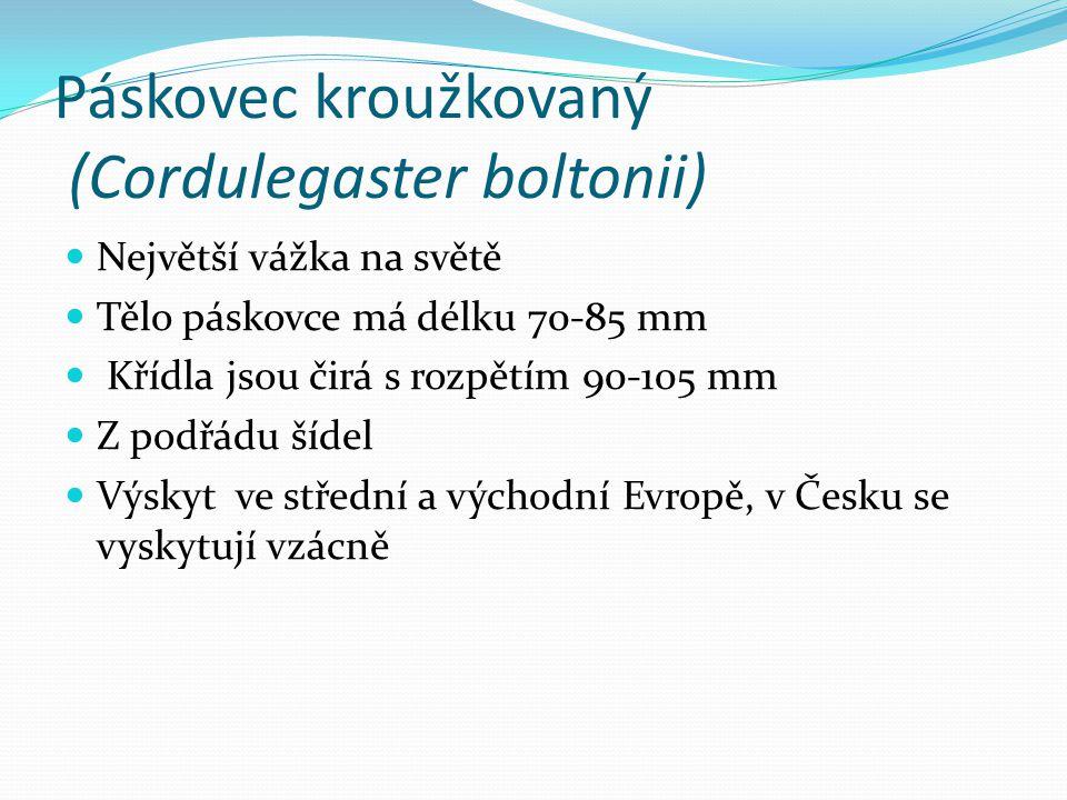 Páskovec kroužkovaný (Cordulegaster boltonii) Největší vážka na světě Tělo páskovce má délku 70-85 mm Křídla jsou čirá s rozpětím 90-105 mm Z podřádu šídel Výskyt ve střední a východní Evropě, v Česku se vyskytují vzácně