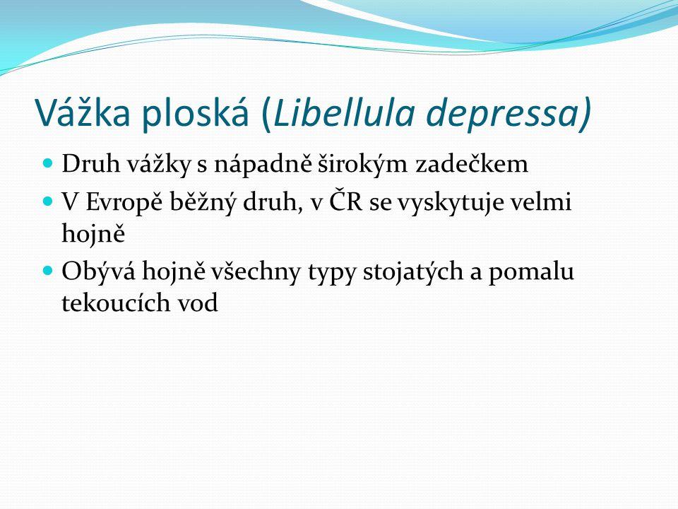 Vážka ploská (Libellula depressa) Druh vážky s nápadně širokým zadečkem V Evropě běžný druh, v ČR se vyskytuje velmi hojně Obývá hojně všechny typy stojatých a pomalu tekoucích vod