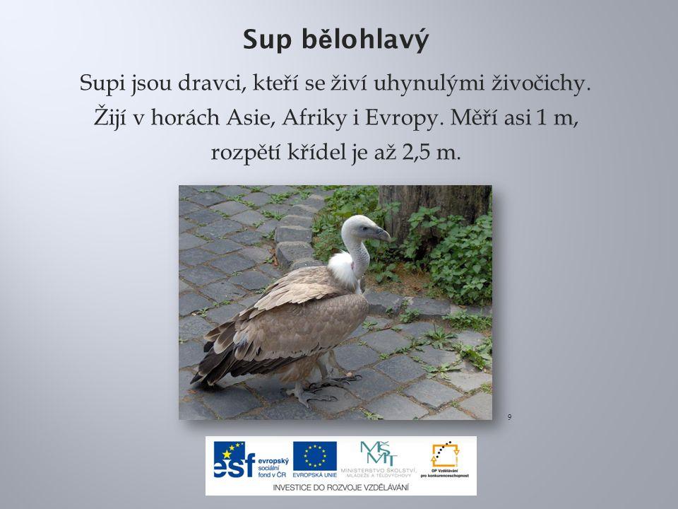 Sup b ě lohlavý Supi jsou dravci, kteří se živí uhynulými živočichy.