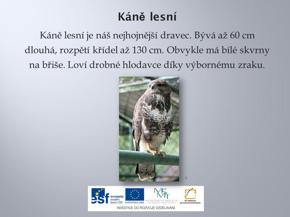 Kán ě lesní Káně lesní je náš nejhojnější dravec.Bývá až 60 cm dlouhá, rozpětí křídel až 130 cm.