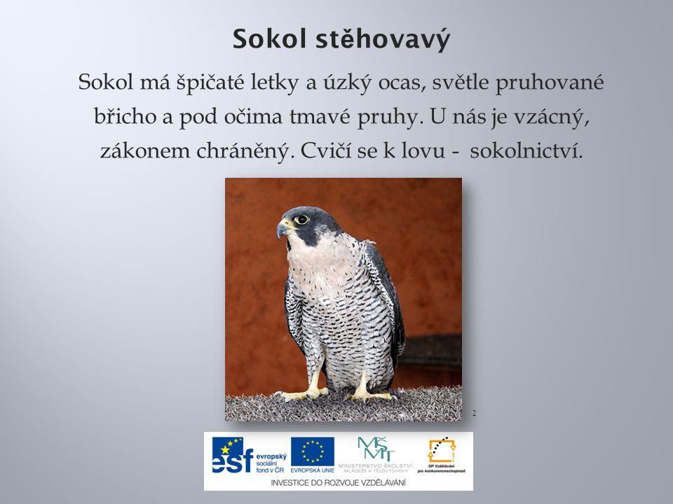 Sokol st ě hovavý Sokol má špičaté letky a úzký ocas, světle pruhované břicho a pod očima tmavé pruhy.