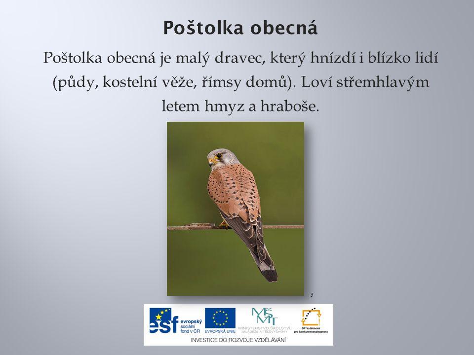 Poštolka obecná Poštolka obecná je malý dravec, který hnízdí i blízko lidí (půdy, kostelní věže, římsy domů).