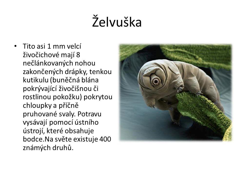 Želvuška Tito asi 1 mm velcí živočichové mají 8 nečlánkovaných nohou zakončených drápky, tenkou kutikulu (buněčná blána pokrývající živočišnou či rost