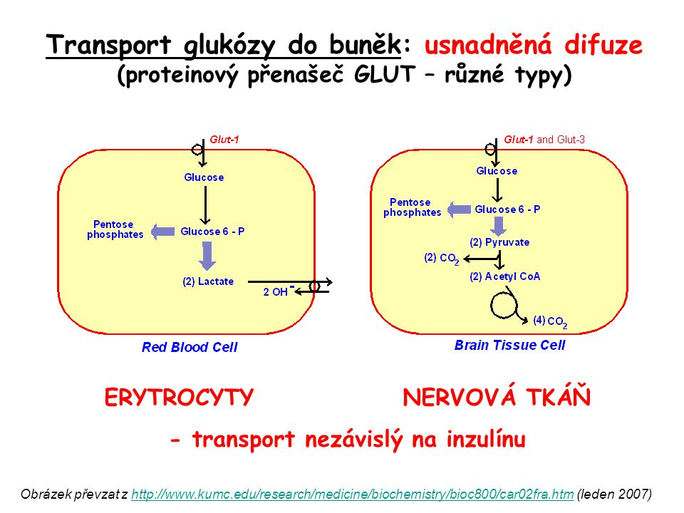 Transport glukózy do buněk: usnadněná difuze (proteinový přenašeč GLUT – různé typy) ERYTROCYTY NERVOVÁ TKÁŇ - transport nezávislý na inzulínu Obrázek