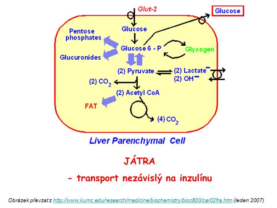 TUKOVÁ TKÁŇ SVALOVÁ TKÁŇ - transport ZÁVISLÝ na inzulínu INZULÍN ZVYŠUJE VSTUP GLC DO TĚCHTO BUNĚK Obrázek převzat z http://www.kumc.edu/research/medicine/biochemistry/bioc800/car02fra.htm (leden 2007)http://www.kumc.edu/research/medicine/biochemistry/bioc800/car02fra.htm