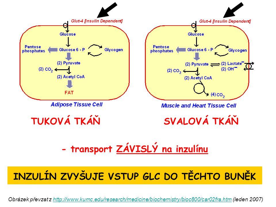 TUKOVÁ TKÁŇ SVALOVÁ TKÁŇ - transport ZÁVISLÝ na inzulínu INZULÍN ZVYŠUJE VSTUP GLC DO TĚCHTO BUNĚK Obrázek převzat z http://www.kumc.edu/research/medi