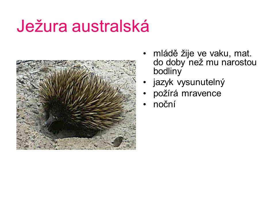 Ježura australská mládě žije ve vaku, mat.