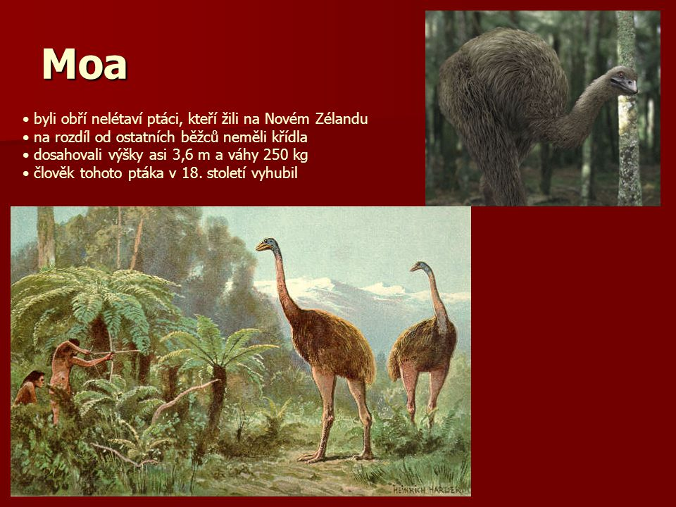 Moa byli obří nelétaví ptáci, kteří žili na Novém Zélandu na rozdíl od ostatních běžců neměli křídla dosahovali výšky asi 3,6 m a váhy 250 kg člověk tohoto ptáka v 18.