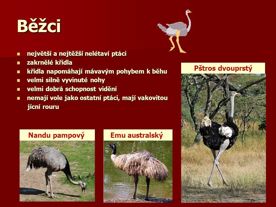 Pštros dvouprstý výška až 260 cm, hmotnost až 150 kg výška až 260 cm, hmotnost až 150 kg největší z dnes žijících ptáků největší z dnes žijících ptáků obývá savany, stepi a polopouště až pouště Afriky obývá savany, stepi a polopouště až pouště Afriky žije v menších skupinách, dokáže se účinně bránit kopanci nohou žije v menších skupinách, dokáže se účinně bránit kopanci nohou velmi silně vyvinuté nohy, opatřený jen dvěma velmi silně vyvinuté nohy, opatřený jen dvěma prsty, z nichž vnitřní je tlustý a silný prsty, z nichž vnitřní je tlustý a silný potrava: listy a plody rostlin i drobní živočichové potrava: listy a plody rostlin i drobní živočichové snáší až 20 vajec, inkubace trvá 39-42 dnů snáší až 20 vajec, inkubace trvá 39-42 dnů dospívá ve 3-4 letech, dožívá se až 50 let dospívá ve 3-4 letech, dožívá se až 50 let samec samice