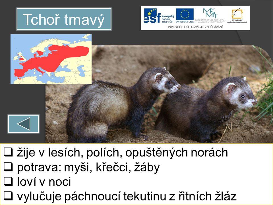 Tchoř tmavý  žije v lesích, polích, opuštěných norách  potrava: myši, křečci, žáby  loví v noci  vylučuje páchnoucí tekutinu z řitních žláz