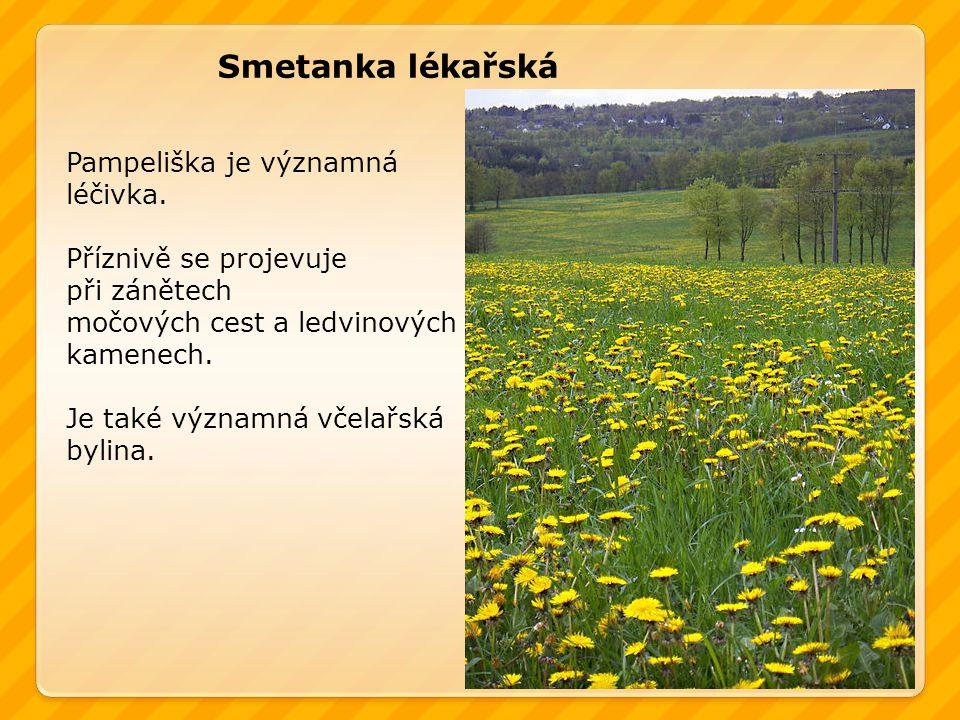 Smetanka lékařská Pampeliška je významná léčivka.