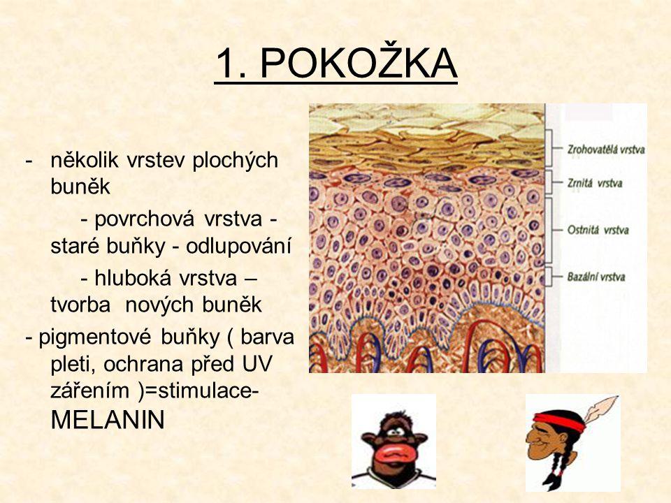 1. POKOŽKA -několik vrstev plochých buněk - povrchová vrstva - staré buňky - odlupování - hluboká vrstva – tvorba nových buněk - pigmentové buňky ( ba