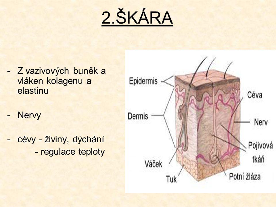 2.ŠKÁRA -Z-Z vazivových buněk a vláken kolagenu a elastinu -N-Nervy -c-cévy - živiny, dýchání - regulace teploty
