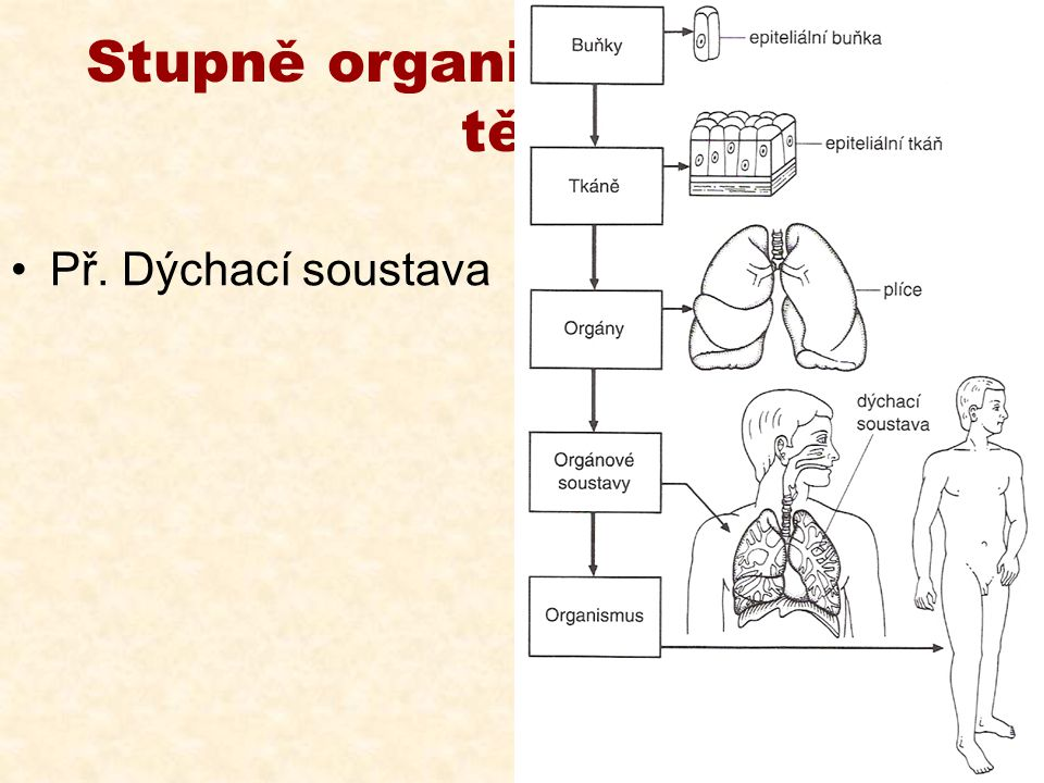 Stupně organizace lidského těla Př. Dýchací soustava