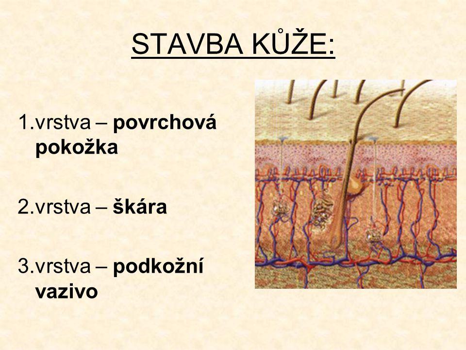 STAVBA KŮŽE: 1.vrstva – povrchová pokožka 2.vrstva – škára 3.vrstva – podkožní vazivo
