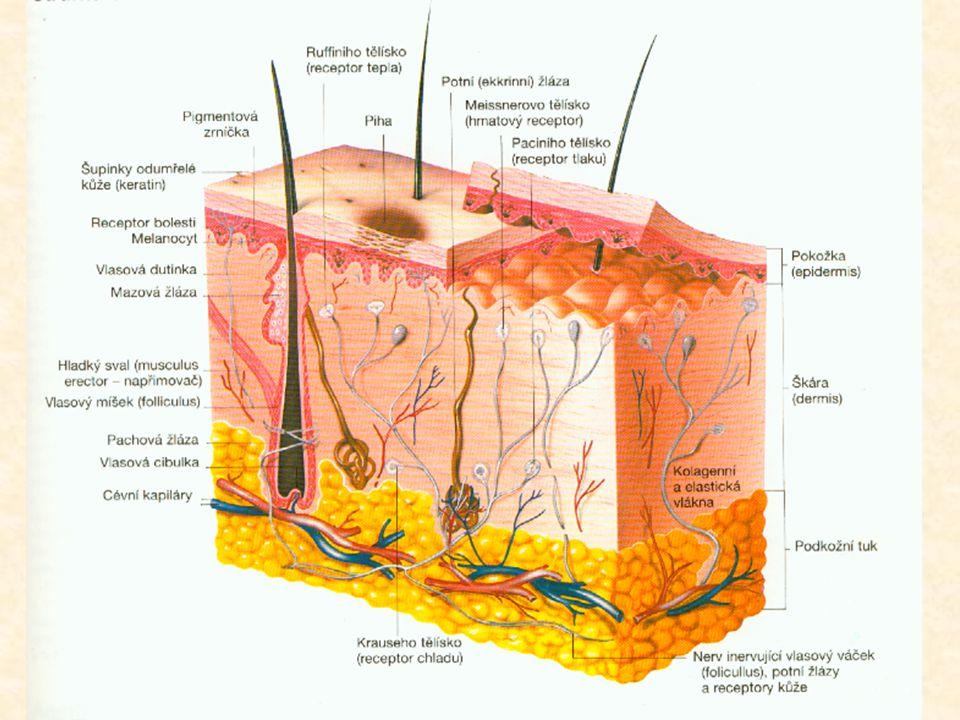 OPAKOVÁNÍ: Potní žlázy: a)Tubulární žlázy začínající v hlubších vrstvách kůže b)Alveolární žlázy začínající ve škáře c)Ústí stočeným klubíčkem ve svrchní škáře d)Se sbíhají a ústí společnými vývody až na povrchu pokožky