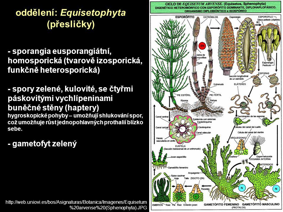 - sporangia eusporangiátní, homosporická (tvarově izosporická, funkčně heterosporická) - spory zelené, kulovité, se čtyřmi páskovitými vychlípeninami buněčné stěny (haptery) hygroskopické pohyby – umožňují shlukování spor, což umožňuje růst jednopohlavných prothalií blízko sebe.