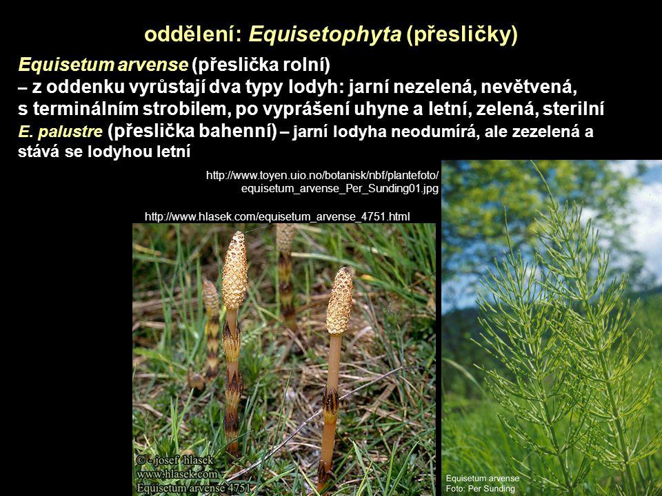 Equisetum arvense (přeslička rolní) – z oddenku vyrůstají dva typy lodyh: jarní nezelená, nevětvená, s terminálním strobilem, po vyprášení uhyne a letní, zelená, sterilní E.