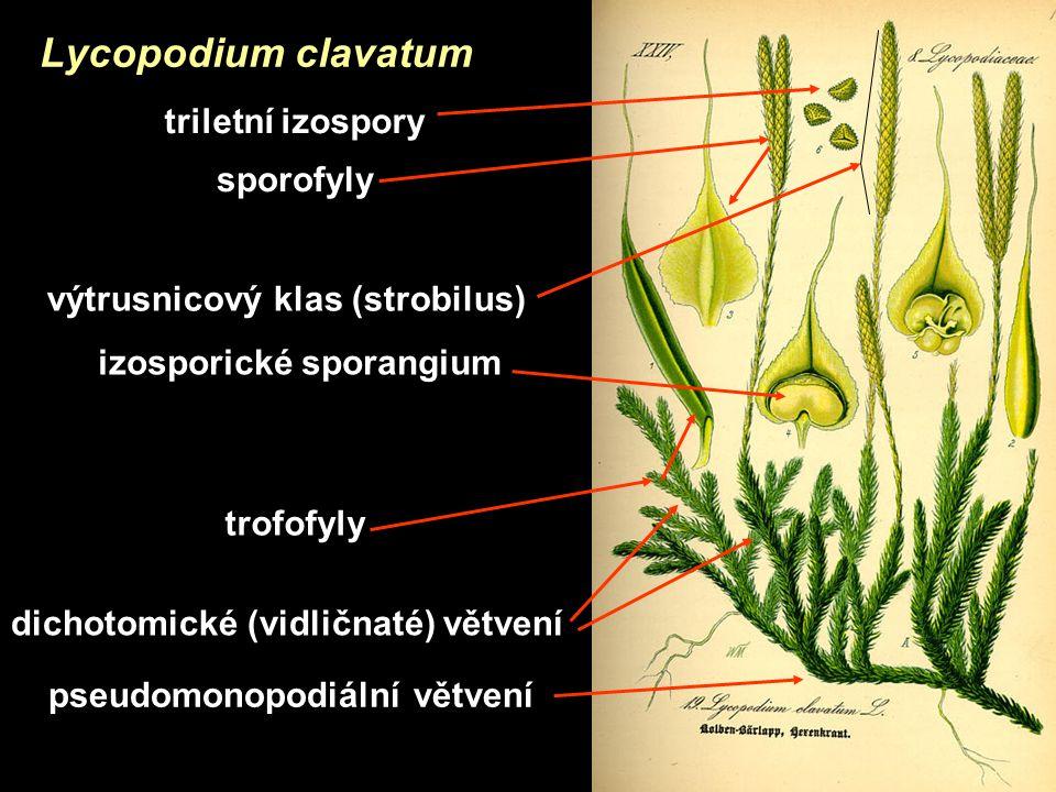 pseudomonopodiální větvení dichotomické (vidličnaté) větvení trofofyly výtrusnicový klas (strobilus) sporofyly izosporické sporangium triletní izospory Lycopodium clavatum