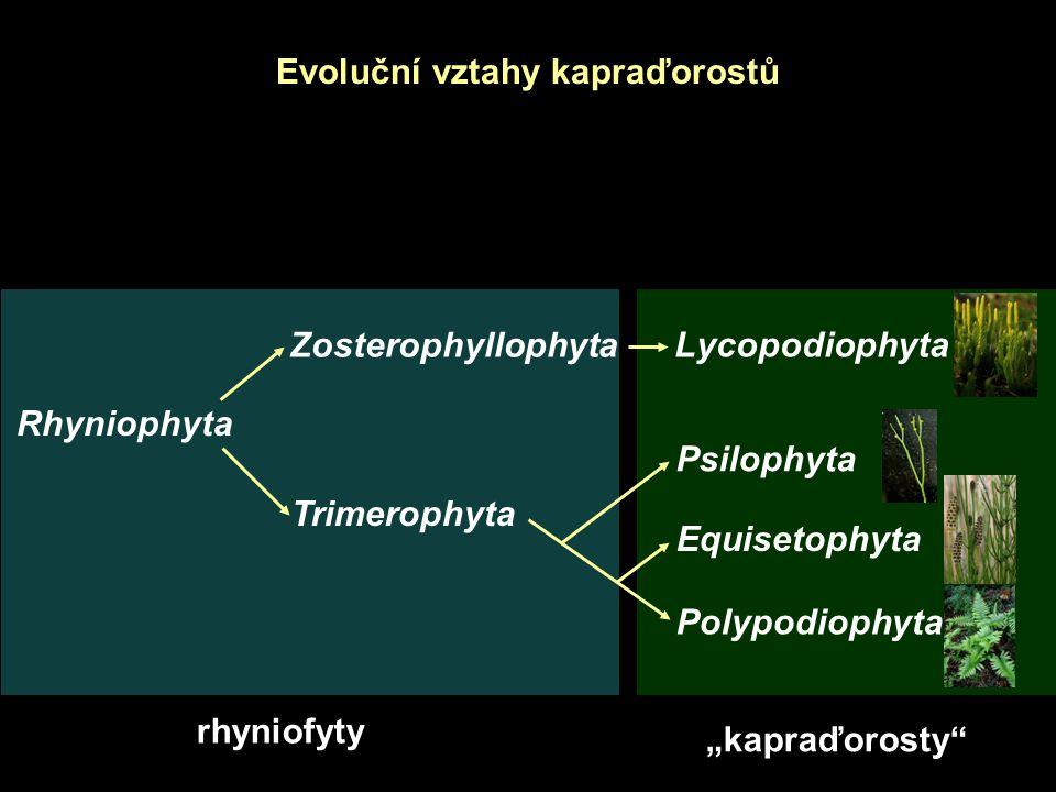 """Evoluční vztahy kapraďorostů Rhyniophyta Zosterophyllophyta Trimerophyta Lycopodiophyta Psilophyta Equisetophyta Polypodiophyta rhyniofyty """"kapraďorosty"""