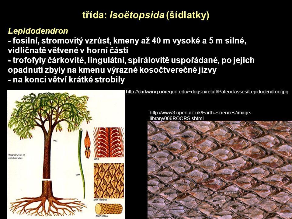 třída: Isoëtopsida (šídlatky) Lepidodendron - fosilní, stromovitý vzrůst, kmeny až 40 m vysoké a 5 m silné, vidličnatě větvené v horní části - trofofyly čárkovité, lingulátní, spirálovitě uspořádané, po jejich opadnutí zbyly na kmenu výrazné kosočtverečné jizvy - na konci větví krátké strobily http://darkwing.uoregon.edu/~dogsci/retall/Paleoclasses/Lepidodendron.jpg http://www3.open.ac.uk/Earth-Sciences/image- library/006ROCRS.shtml