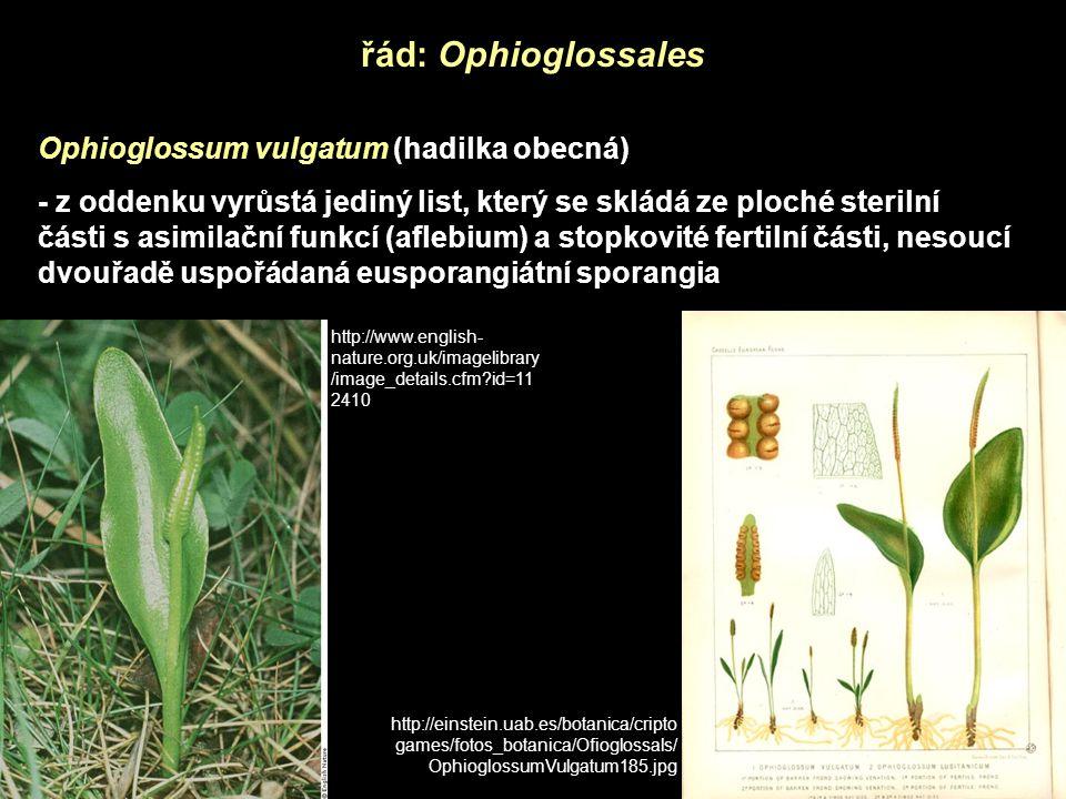 řád: Ophioglossales Ophioglossum vulgatum (hadilka obecná) - z oddenku vyrůstá jediný list, který se skládá ze ploché sterilní části s asimilační funk