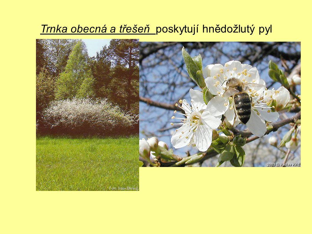 Trnka obecná a třešeň poskytují hnědožlutý pyl