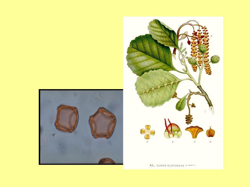 Jabloně přecházejí do 2.½ května, kde převládá jasně žlutý pyl řepky olejky.