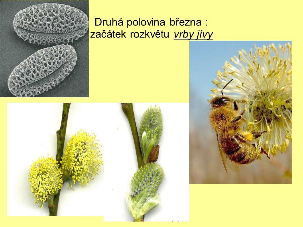 Konec března : další druhy vrb – drobné rousky citronově žluté až oranžový odstín a topol osika – tmavě hnědé rousky